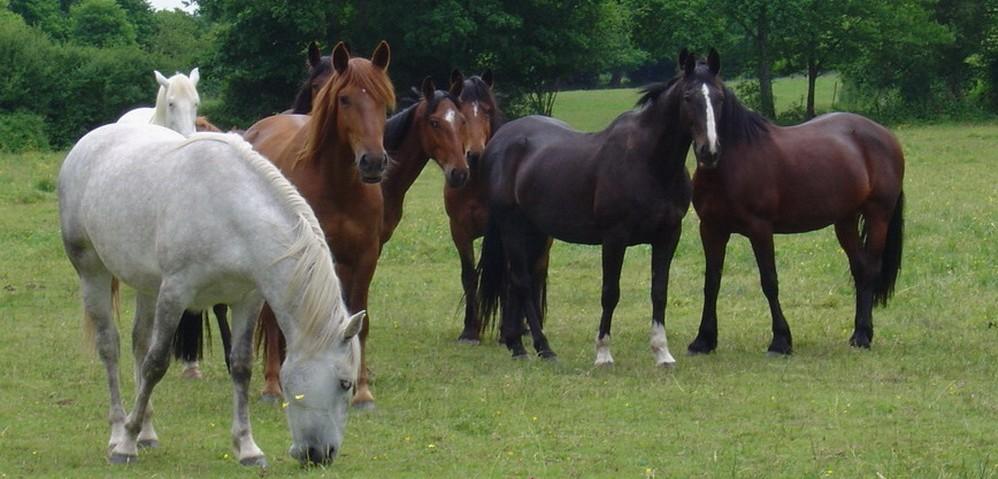 chevaux_champs-998×479
